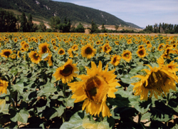Spanish Sunflowers picture